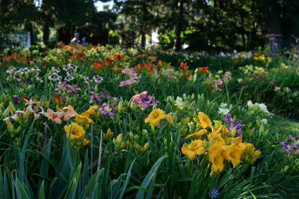 WoodcrestDaylilies2016_032