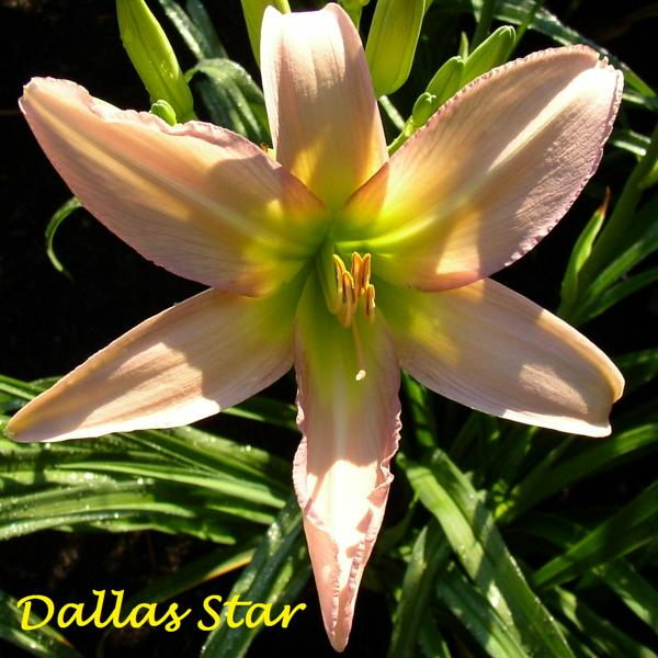 Dallas Star
