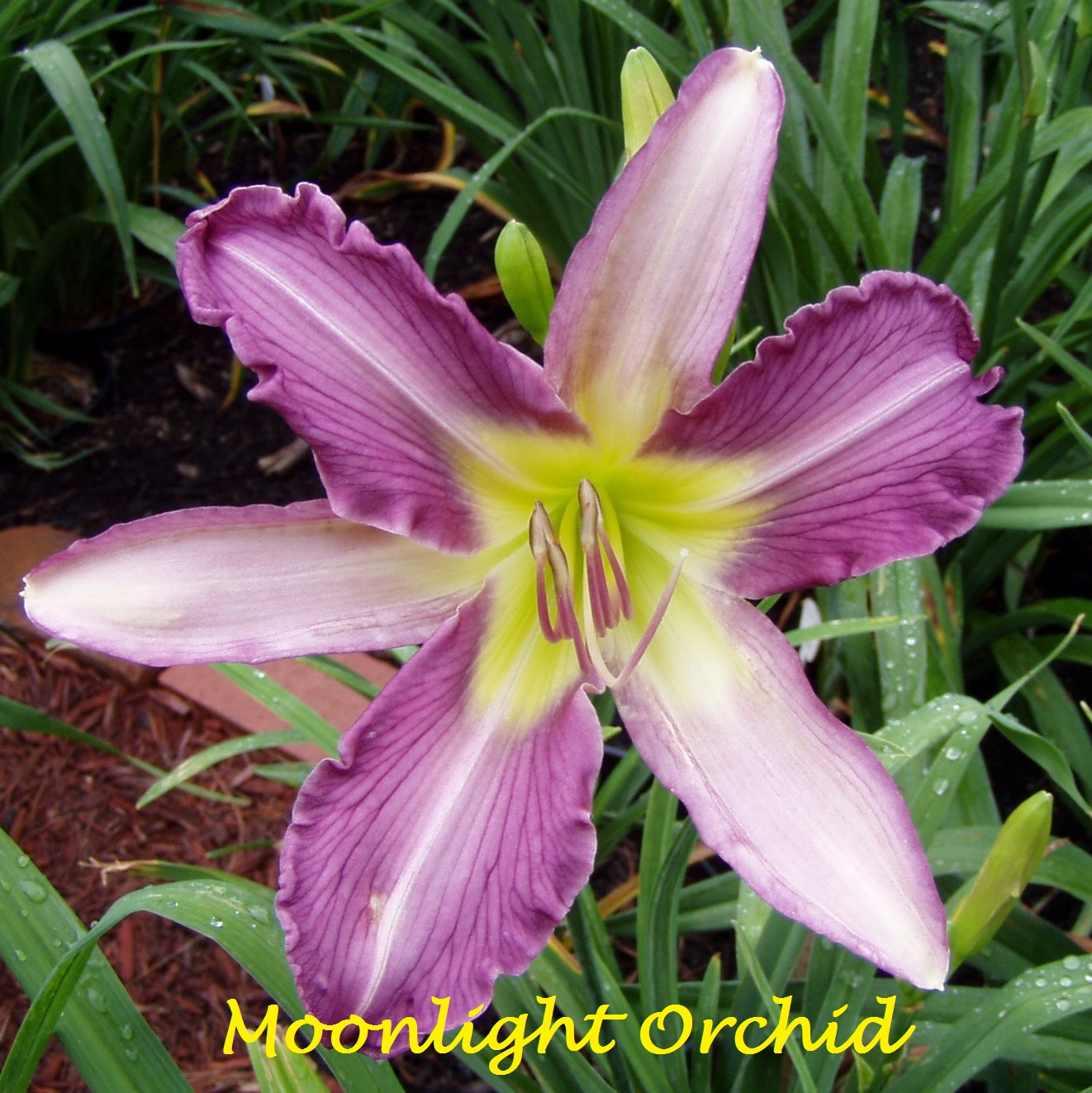Woodcrest Daylilies Llc Moonlight Orchid