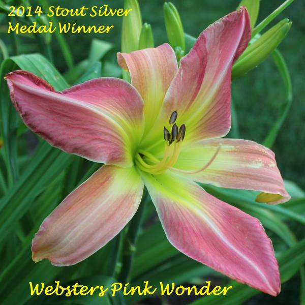Websters Pink Wonder