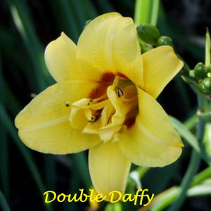 Double Daffy