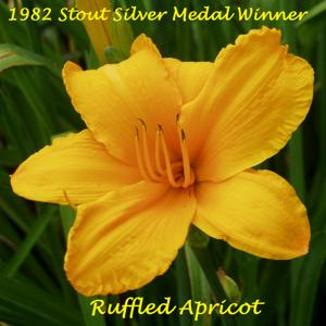 Ruffled Apricot - 1982 Stout Silver Medal Winner